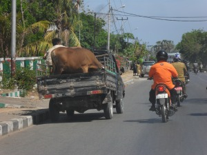 Cow on truck